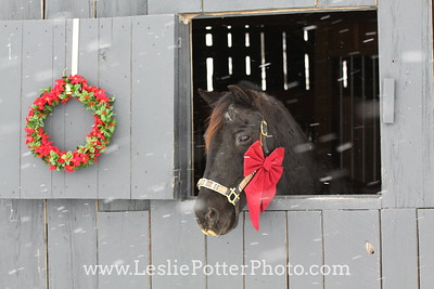 Black Morgan Horse with a Red Bow and Christmas Wreath