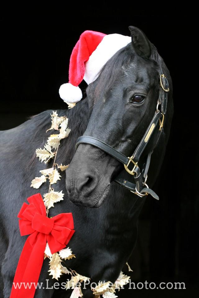 Black Morgan Horse with Christmas Decorations and Santa Hat
