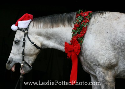 Gray Quarter Horse with Santa Hat Yawning