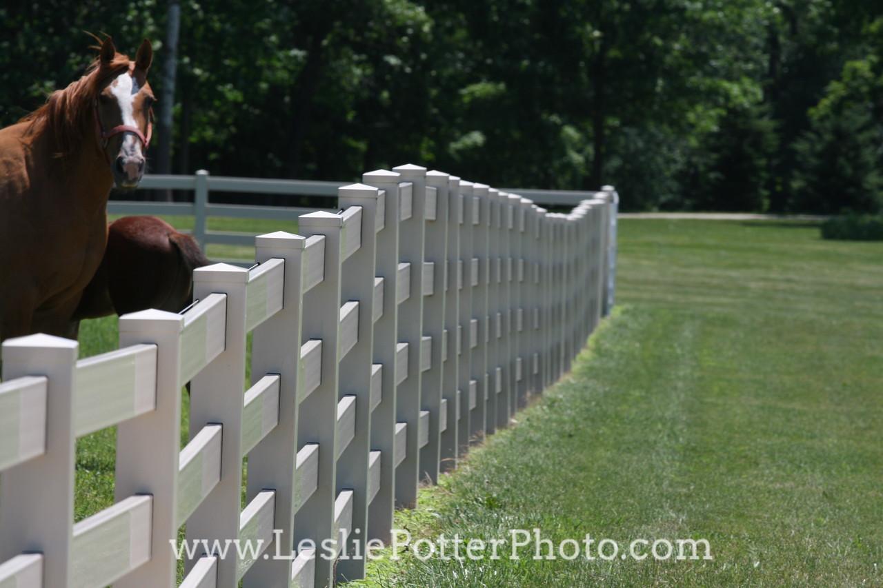 Horses Behind White Vinyl Fence
