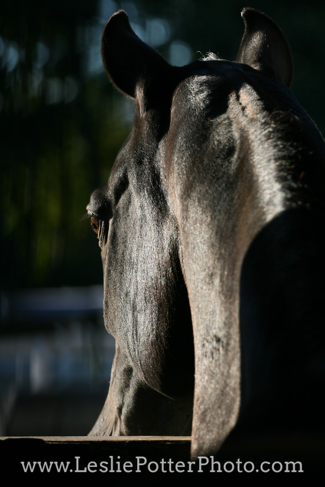 Horse Looking Out Through a Stall Window