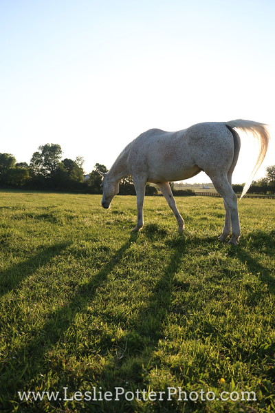 Gray Horse Grazing at Sunset