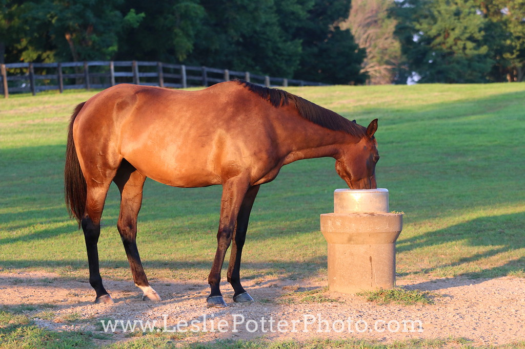 Horse Drinking from an Automatic Waterer