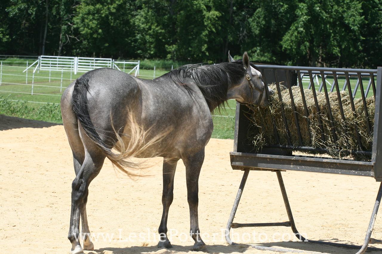 Oak Ridge Arabians, Freeport, IL