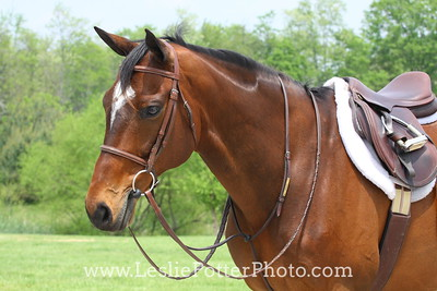 Bay Horse Tacked Up for Jumper Show
