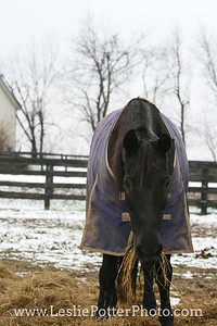 Horse Eating Hay in the Snow