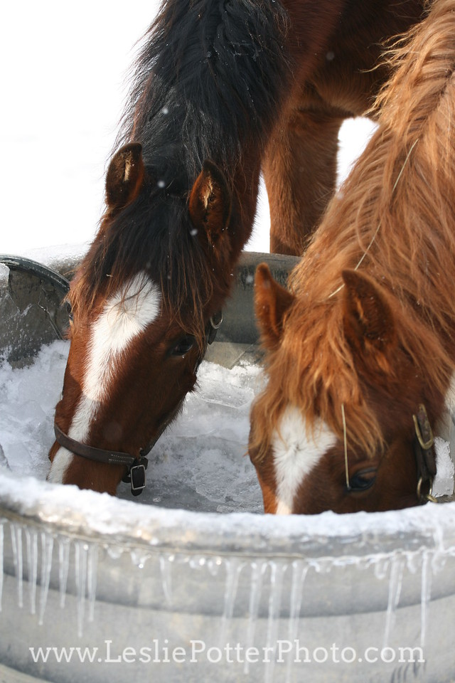 Horses Drinking from Frozen Water Trough