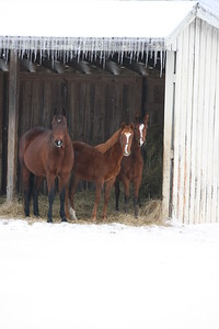 Horses in Shelter After Ice Storm