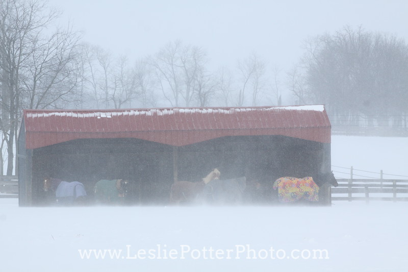 Horses in Shelter During a Blizzard