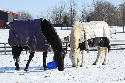 Horses Eating in the Snow