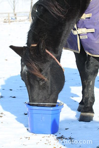 Horse Eating from a Bucket in the Snow