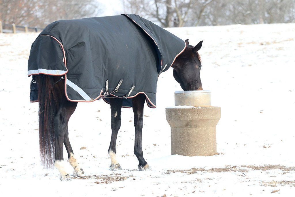 Horse in a Blanket and Neck Cover Drinking From an Automatic Waterer in Winter