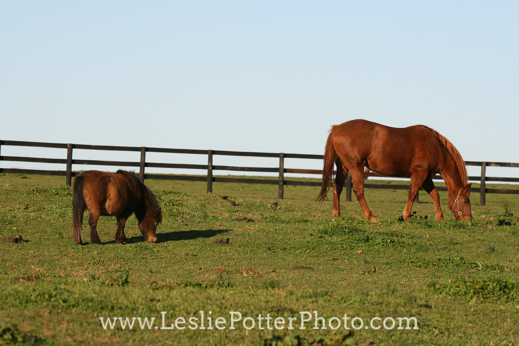 Horse and Mini Horse Grazing