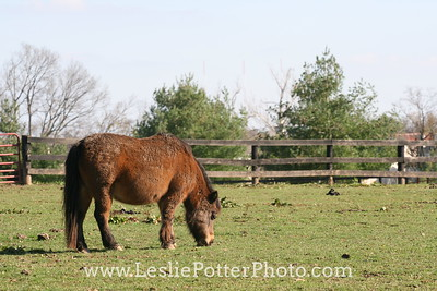 Mini Horse Grazing