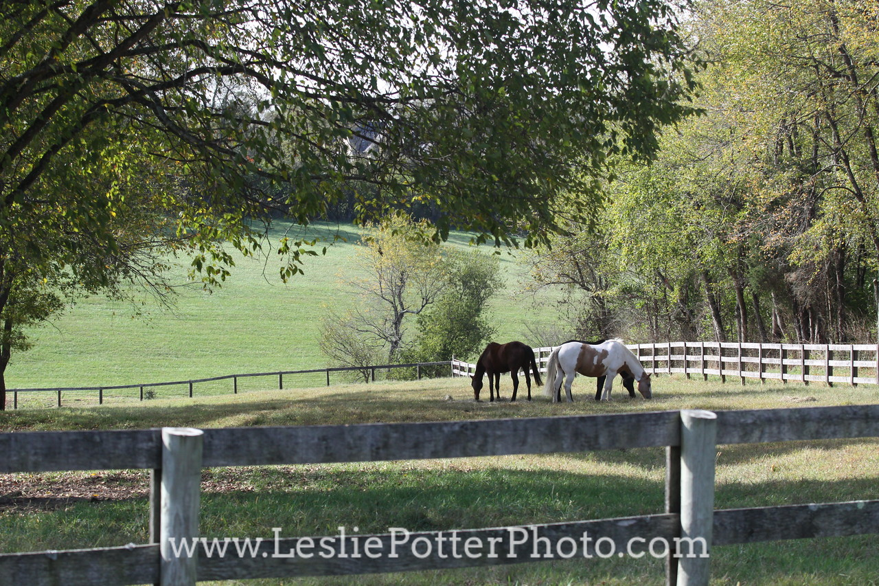 Horses Grazing in Pasture