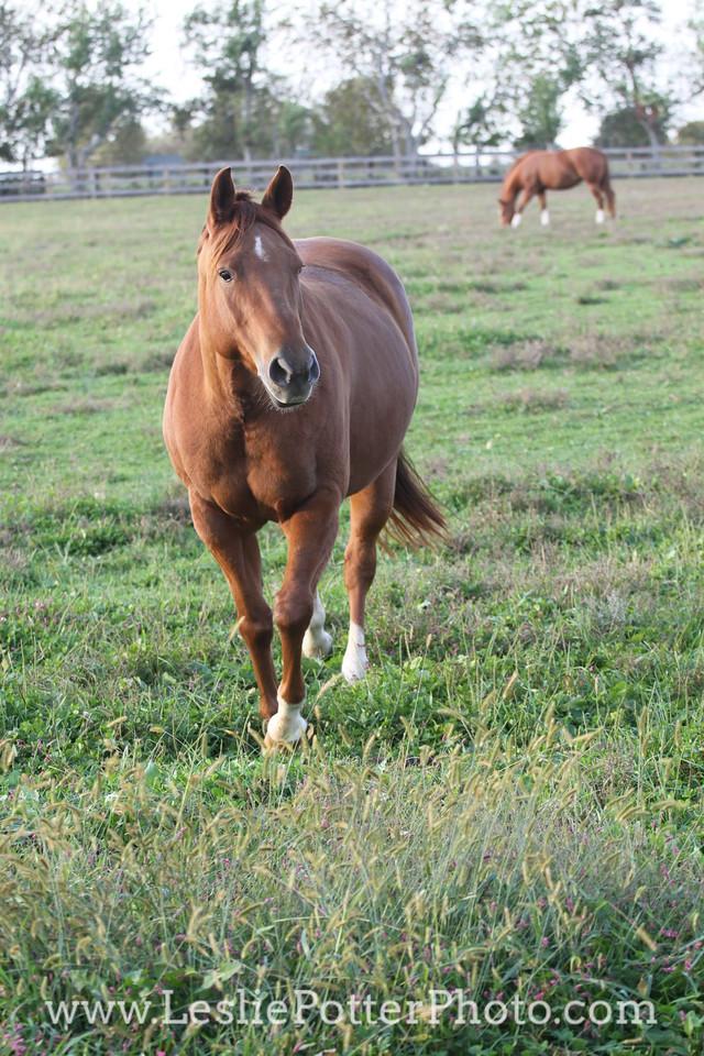 Chestnut Horse in Pasture