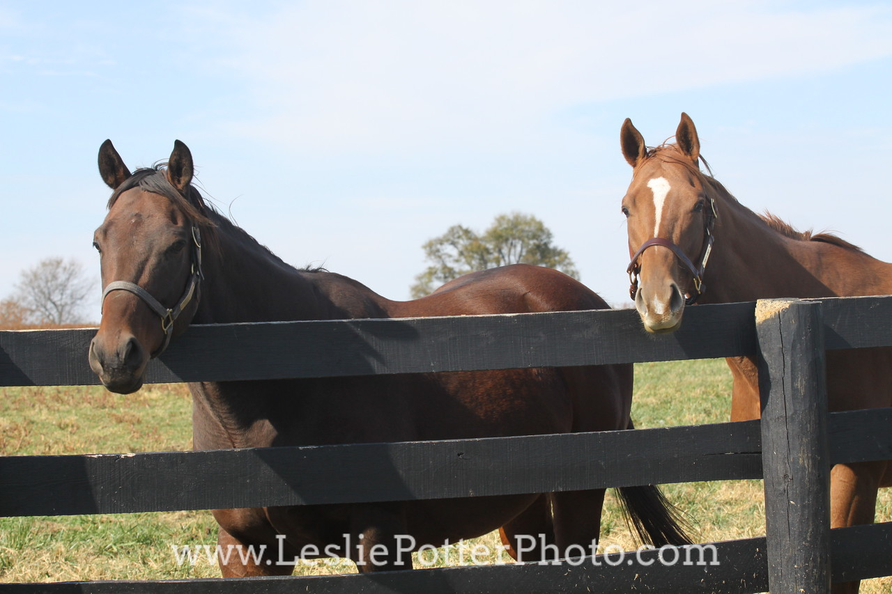 Two Horses Looking Over the Fence