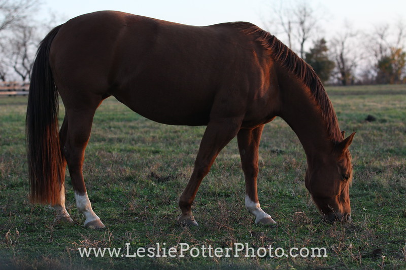 Chestnut Horse Grazing at Dusk