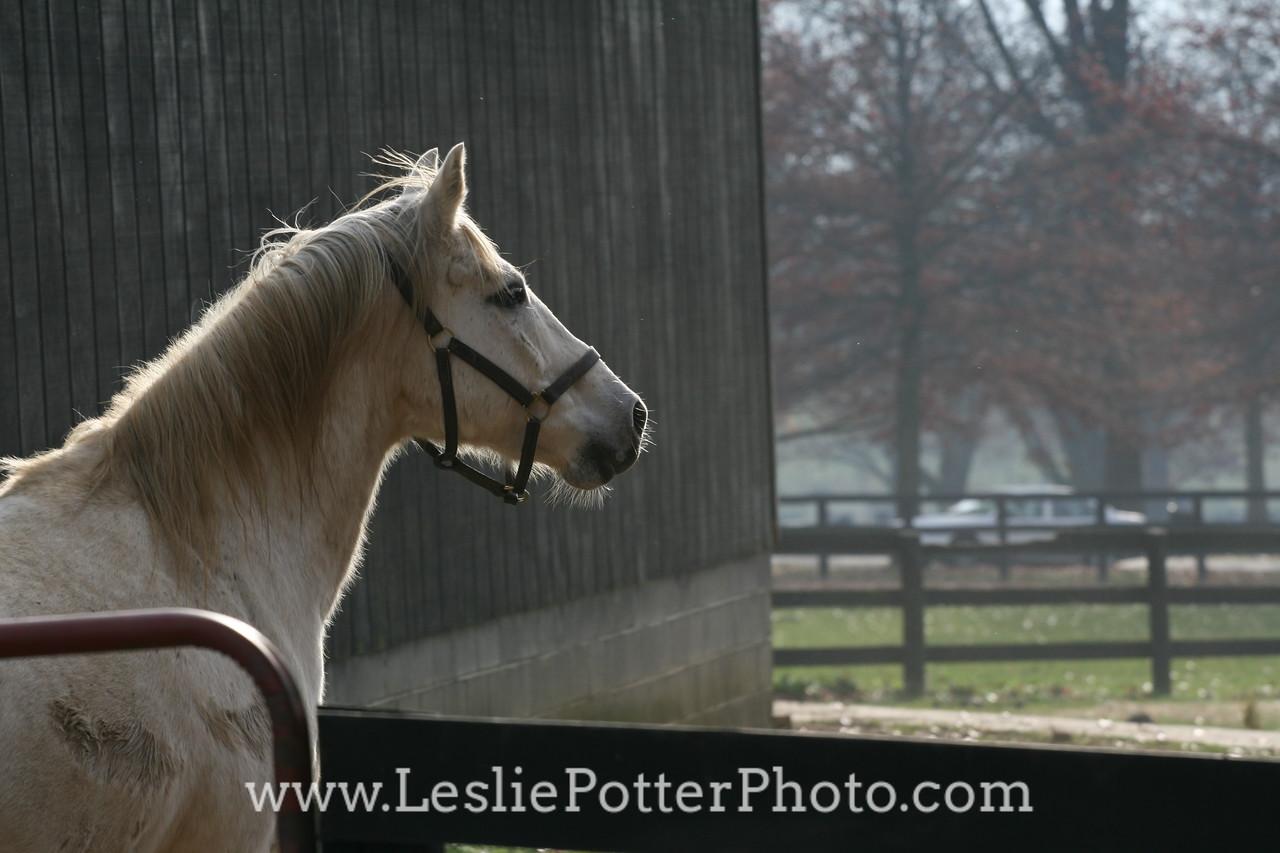 Gray Horse Standing Outside Barn