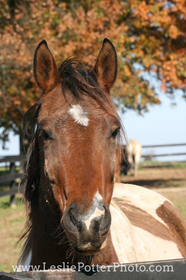Pinto Horse Looking Over Fence