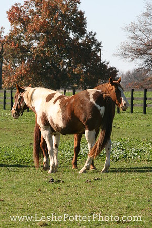 Horses Resting in Pasture in Autumn