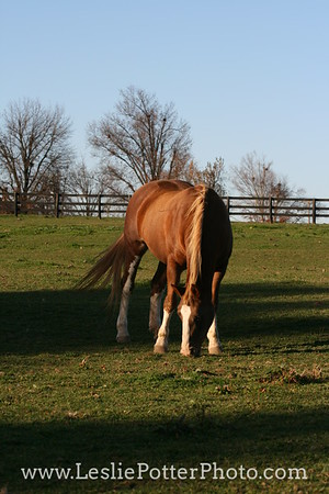 Chestnut Horse Grazing