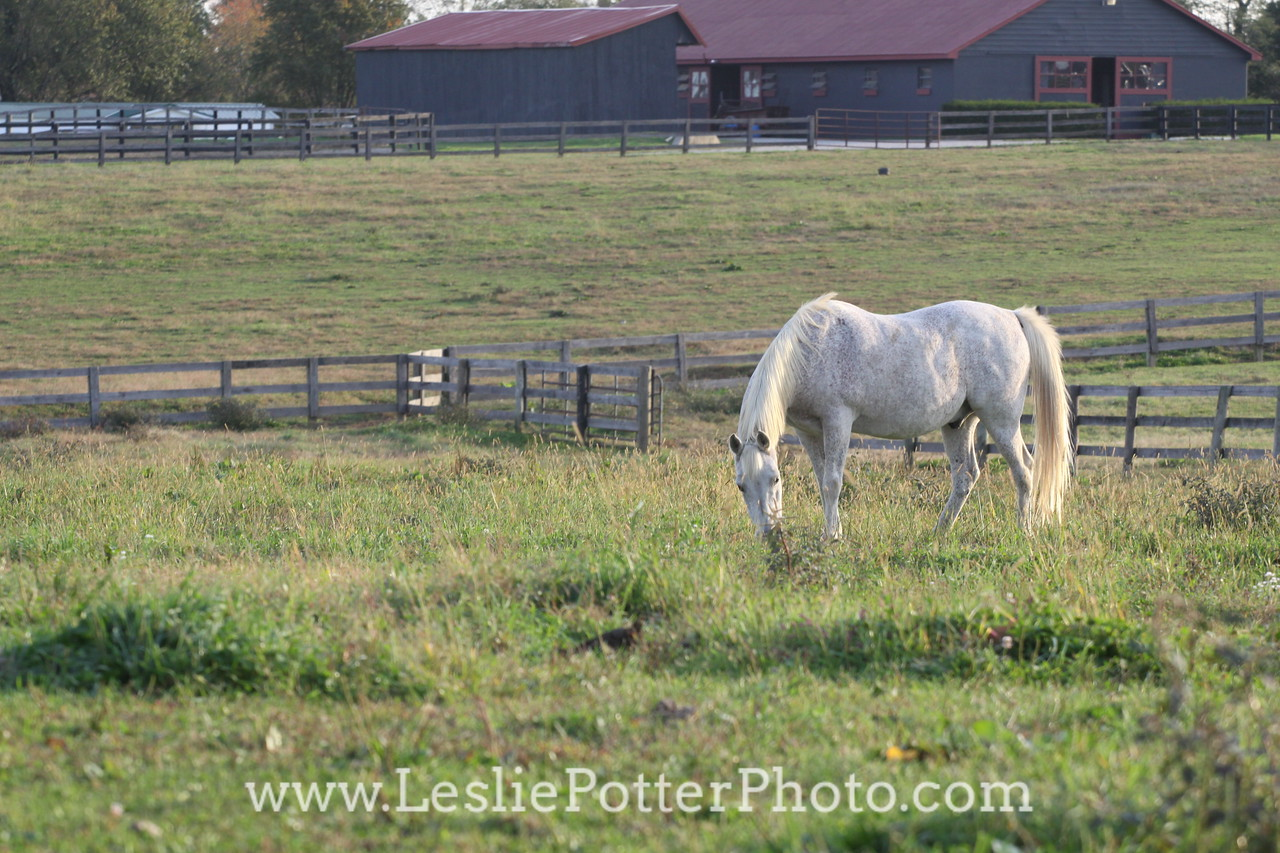 Gray Arabian Horse Grazing