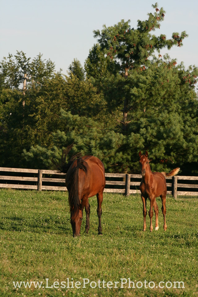 Saddlebred Mare and Foal in Field
