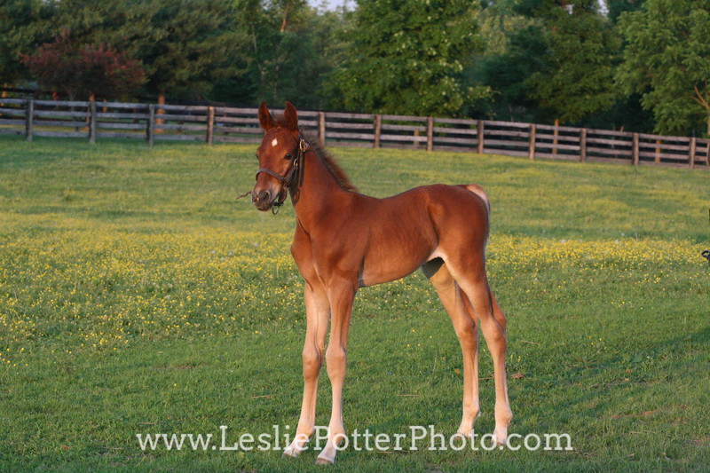 Saddlebred Foal in Pasture