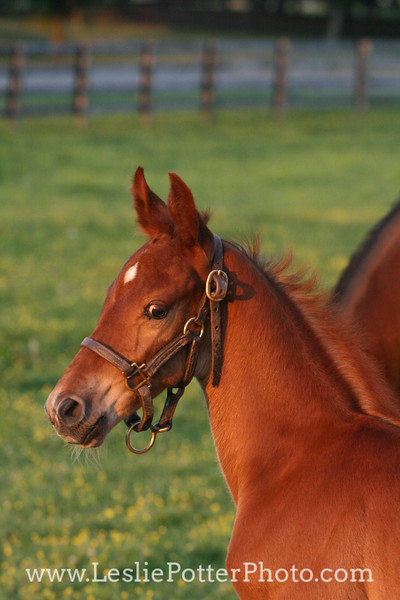 Saddlebred Foal in Pasture