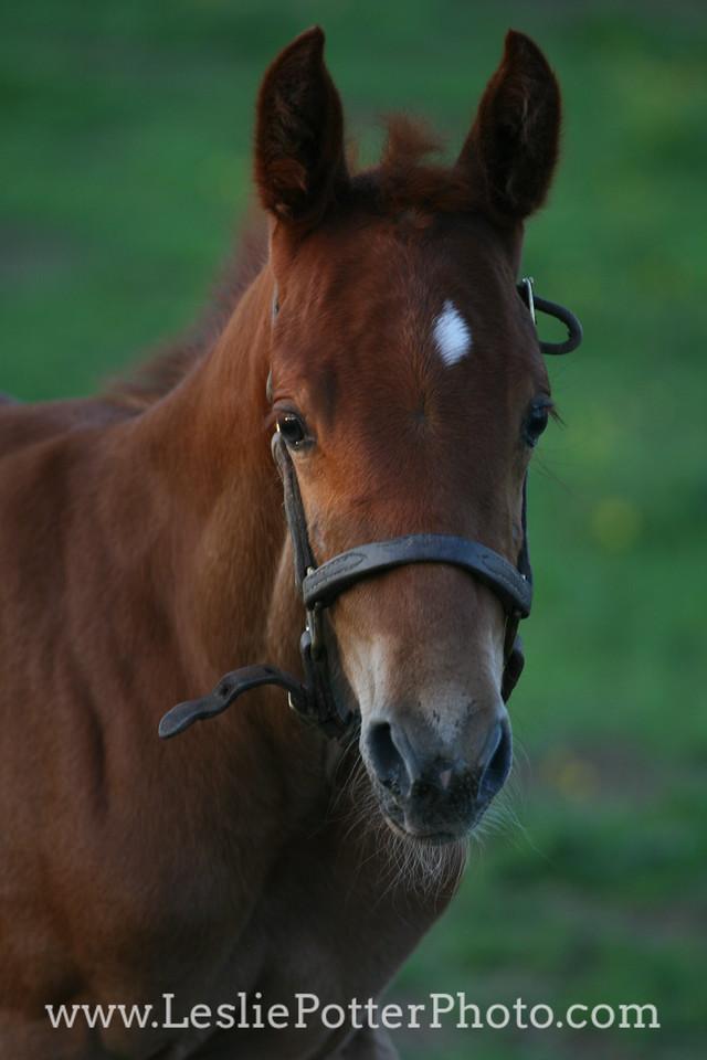 Saddlebred Foal at Dusk