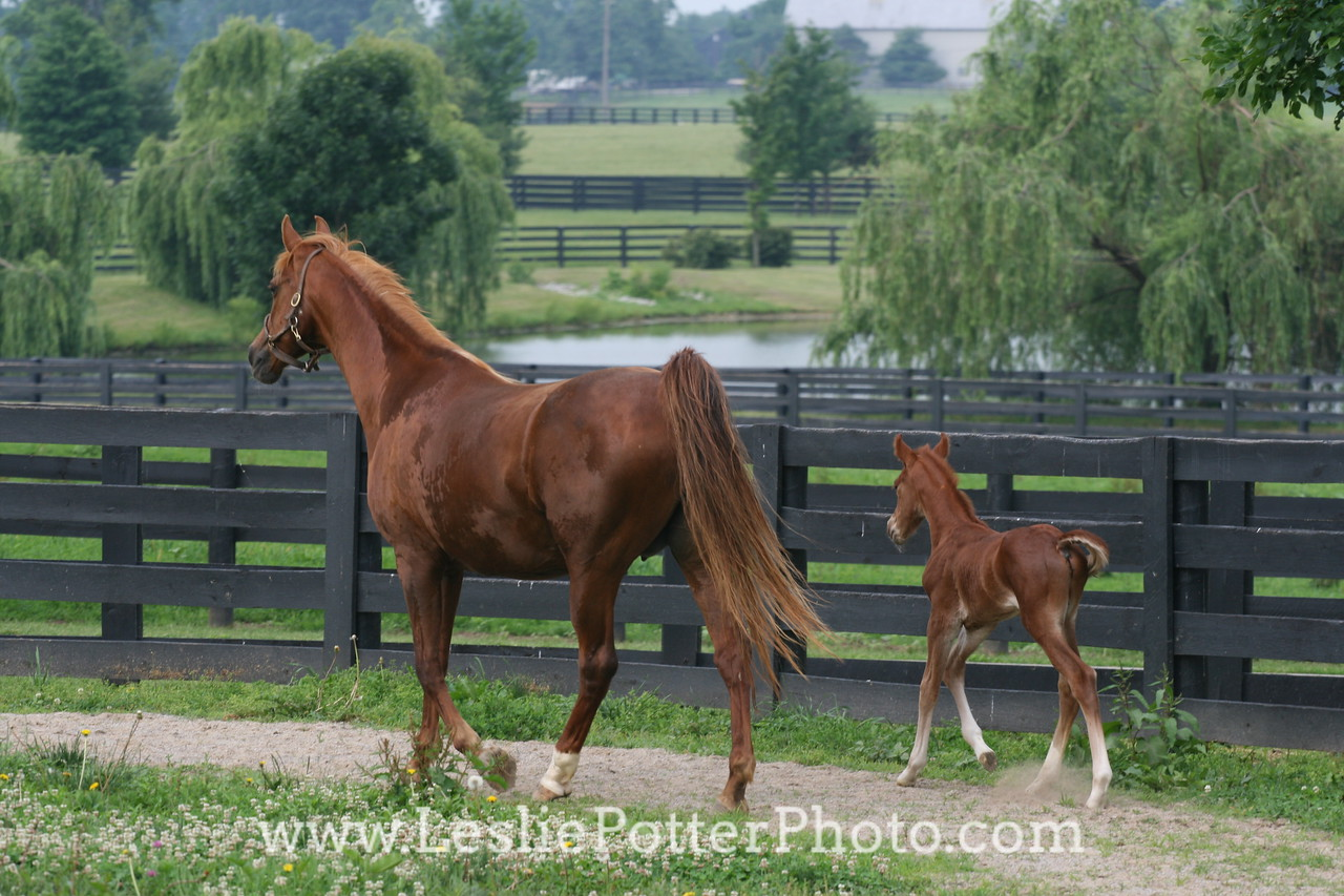 Saddlebred Mare and Foal in Paddock