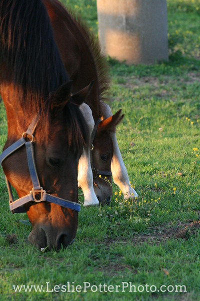 Foal Learning How to Graze