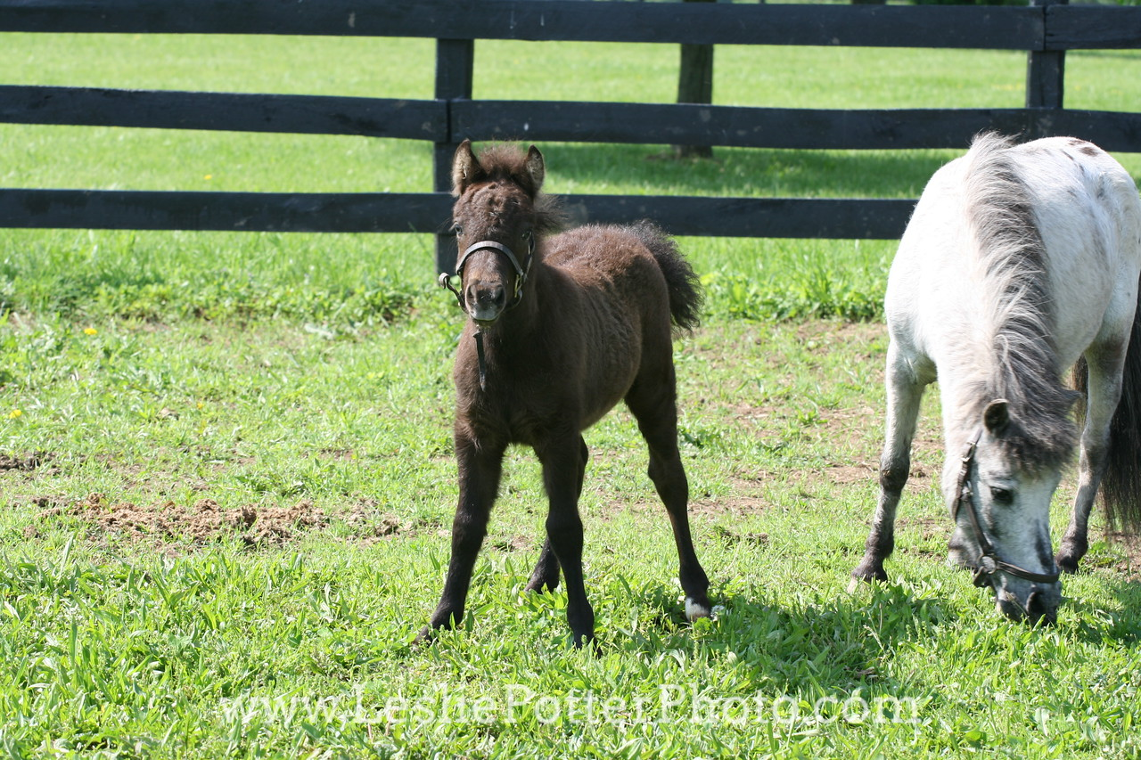 Mini Horse Mare and Foal