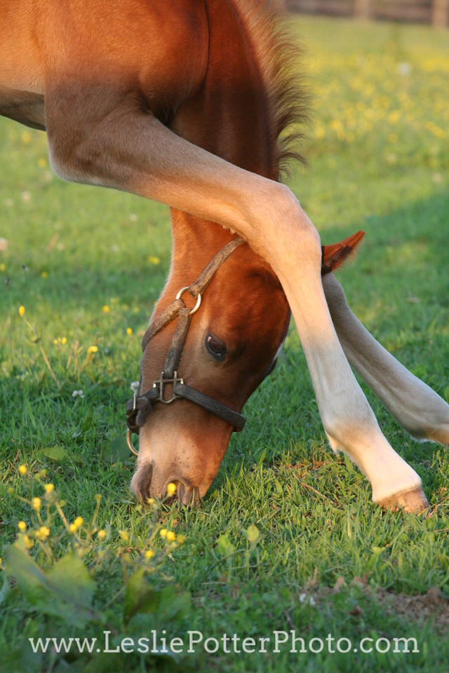 Foal Learning How to Graze
