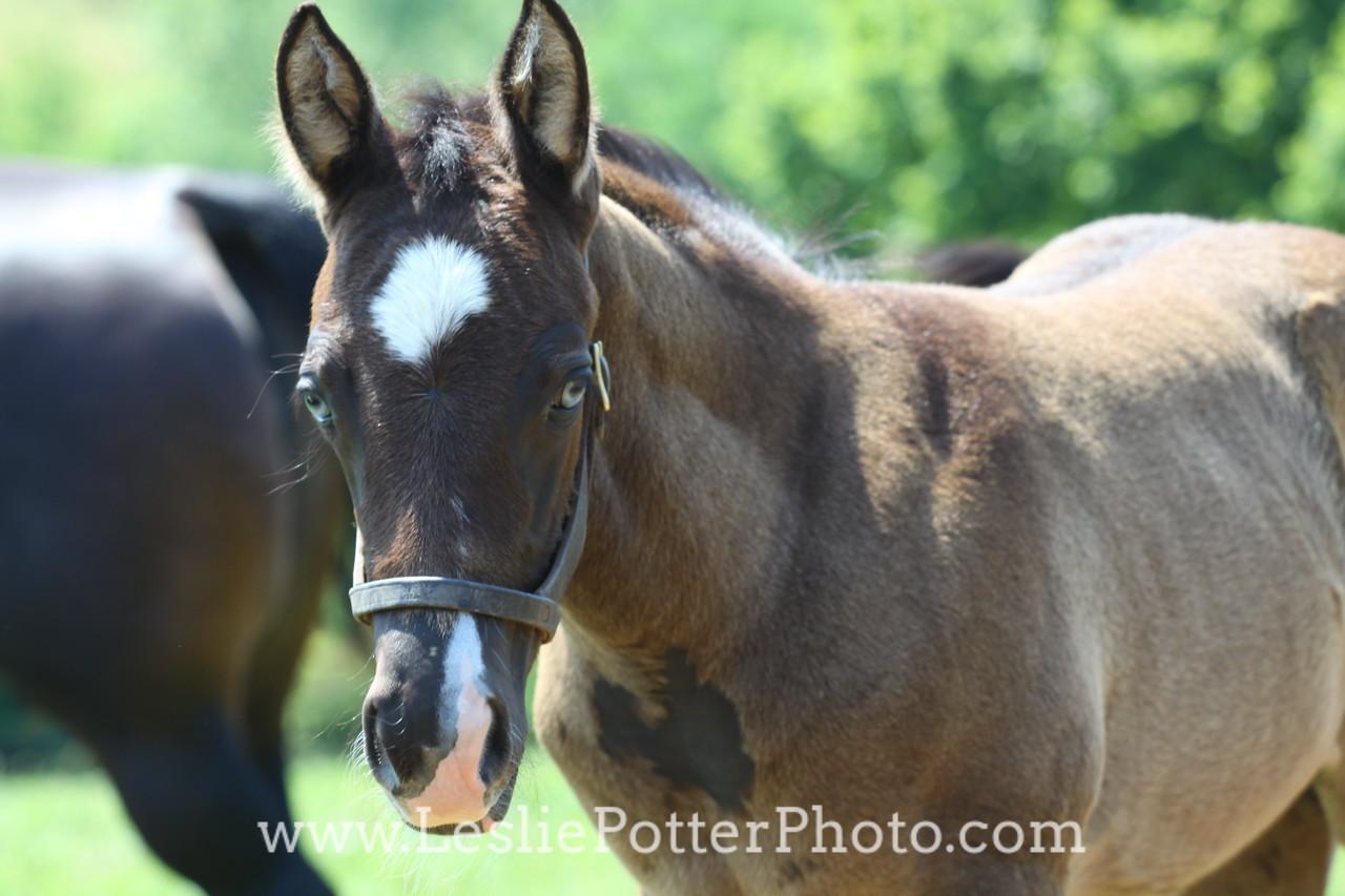 Blue-Eyed Quarter Horse Foal