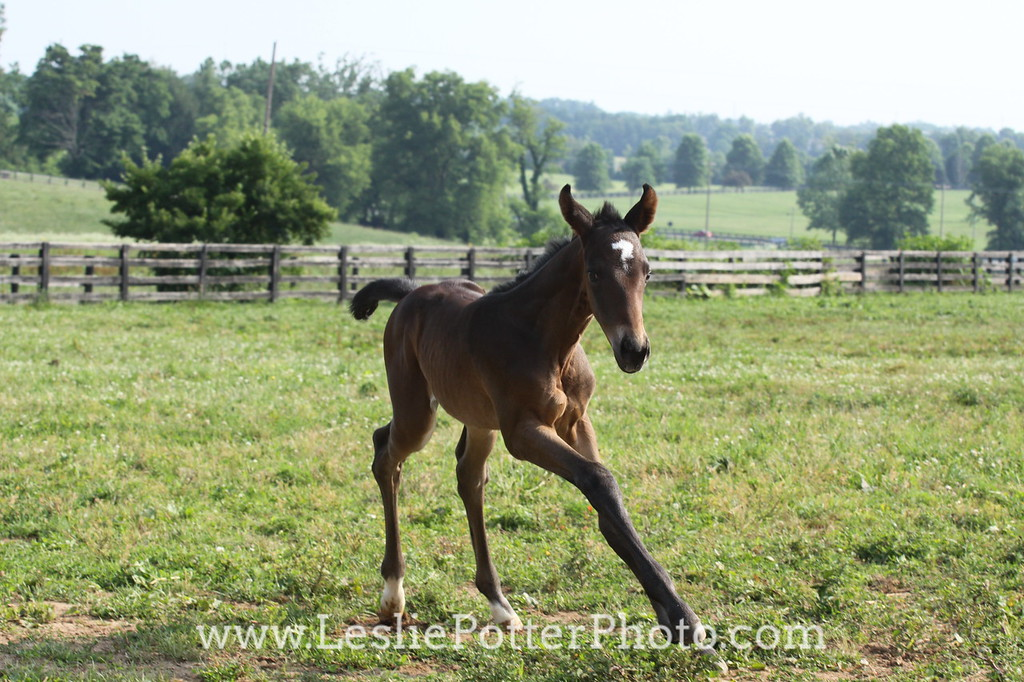 Foal Running in Pasture