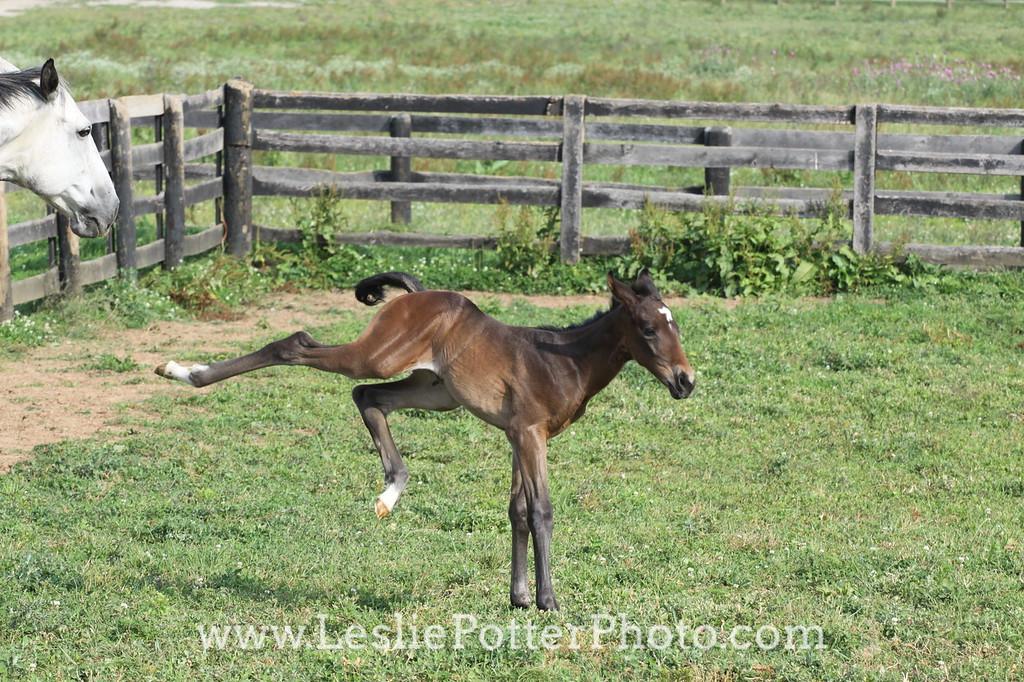 Foal Bucking and Kicking