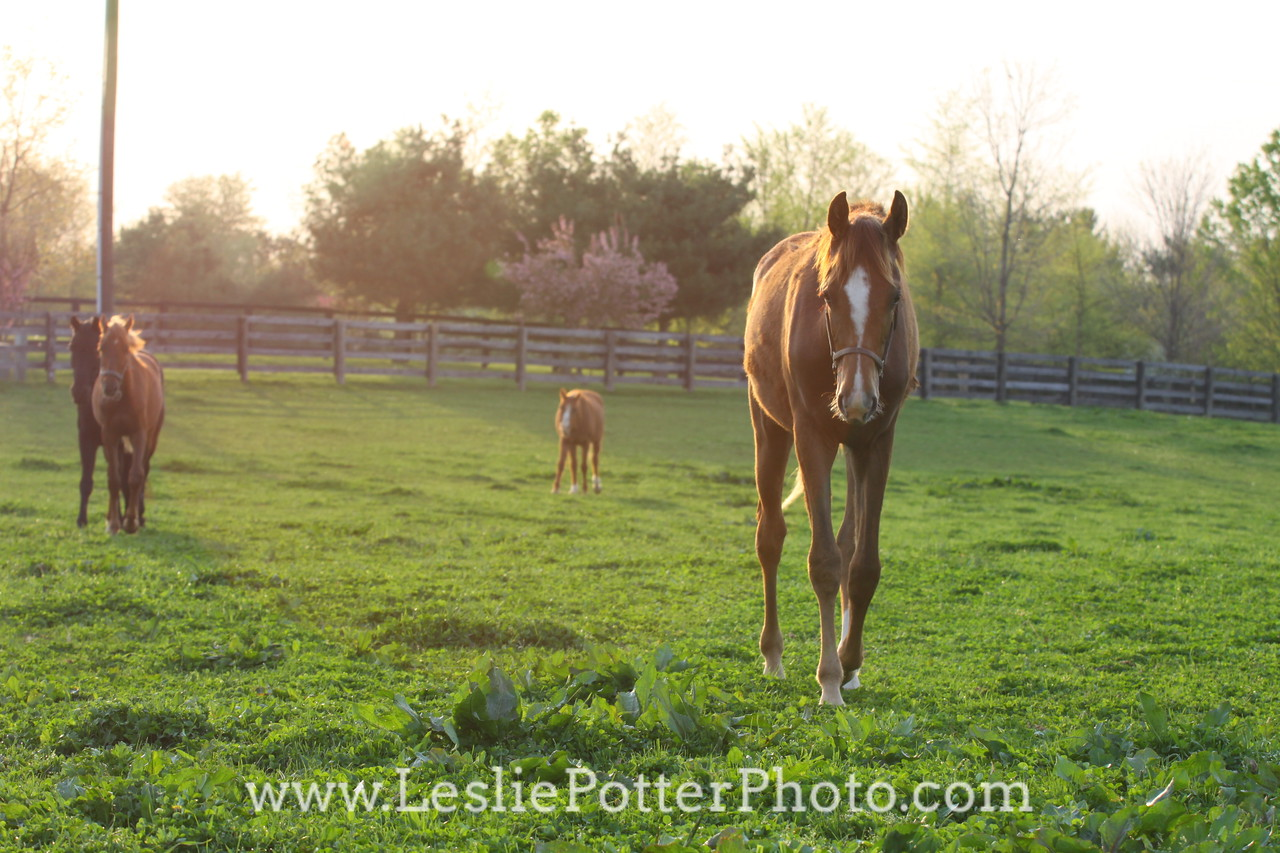 Horses in the Pasture at Sunrise