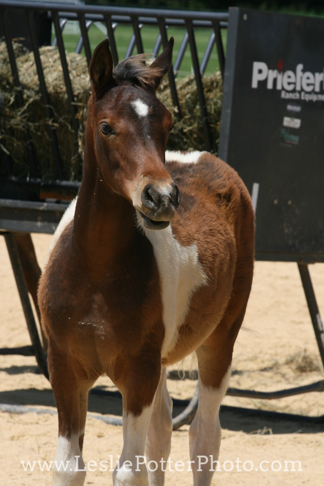 Tri-Color Pinto Foal