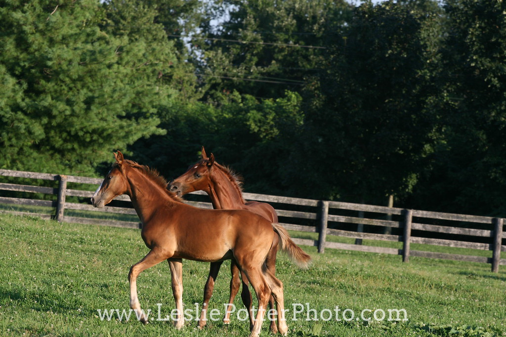 Saddlebred Foals Playing in Field