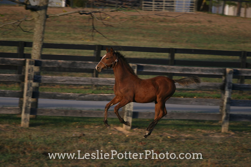 Saddlebred Foal Running in Pasture