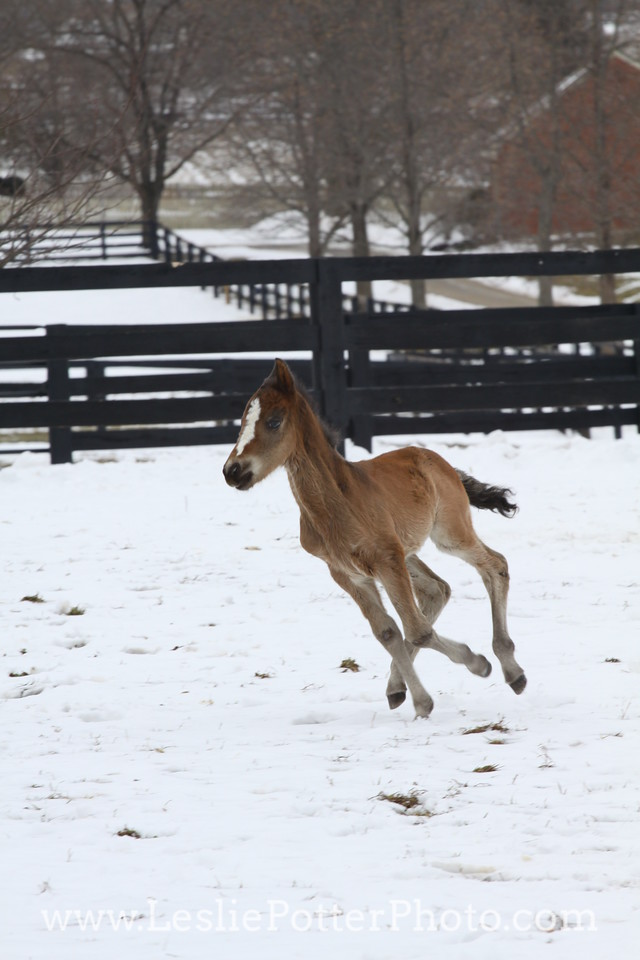 Morgan Foal Running in the Snow