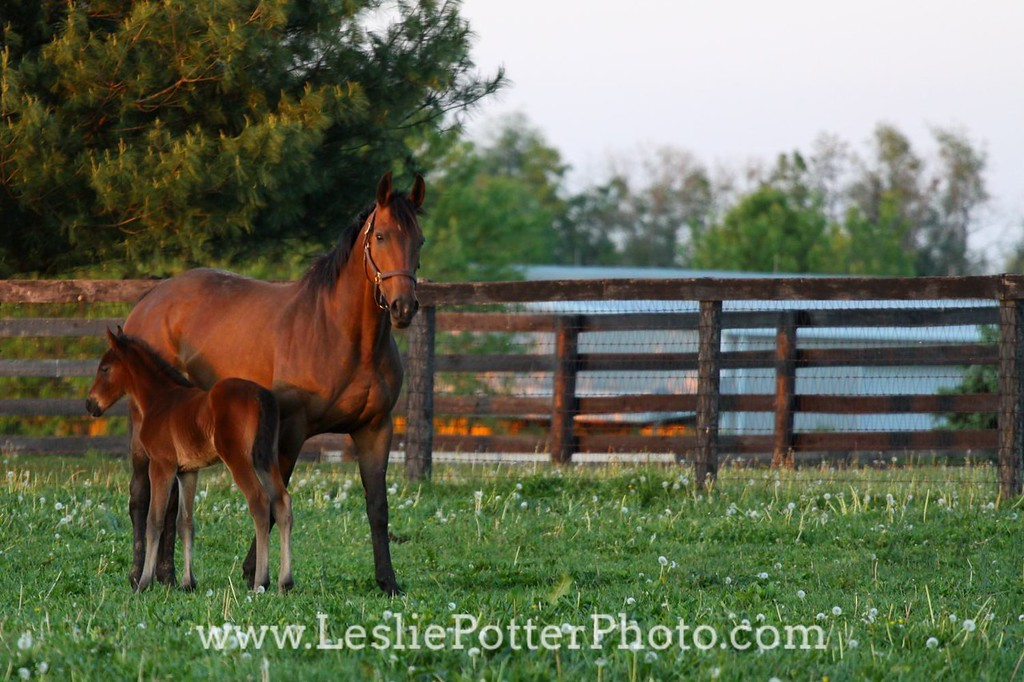 Saddlebred Mare and Foal at Sunset
