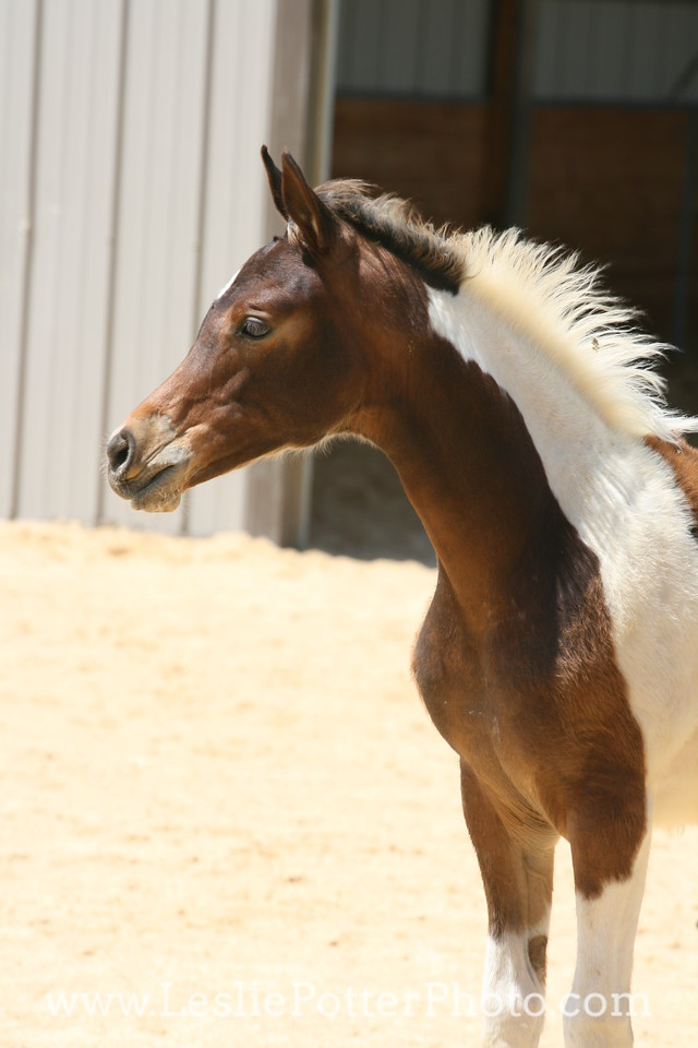 Tri-Color Pinto Foal