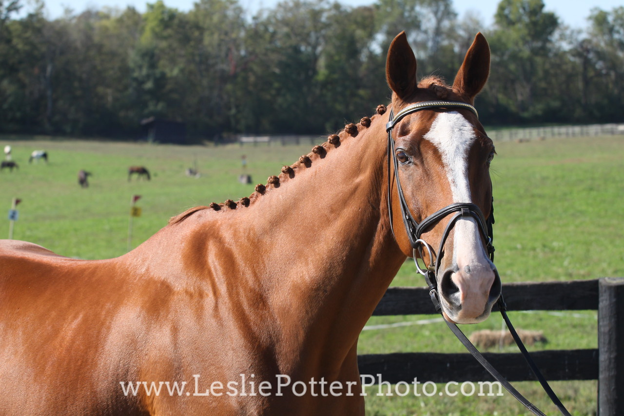 Chestnut Sport Horse in an English Bridle