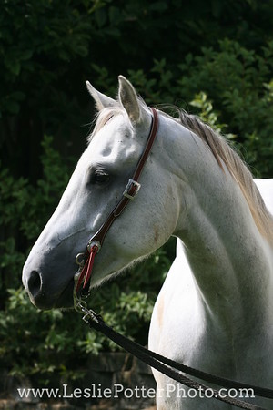 Gray American Quarter Horse in a Western Bridle