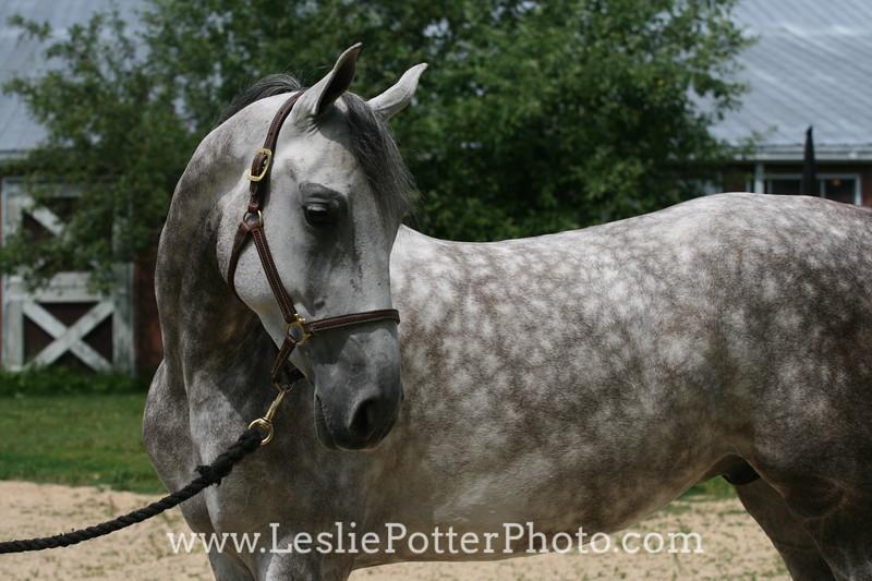 Dapple Gray National Show Horse