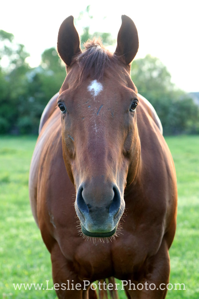 Chestnut Thoroughbred in the Pature at Sunset