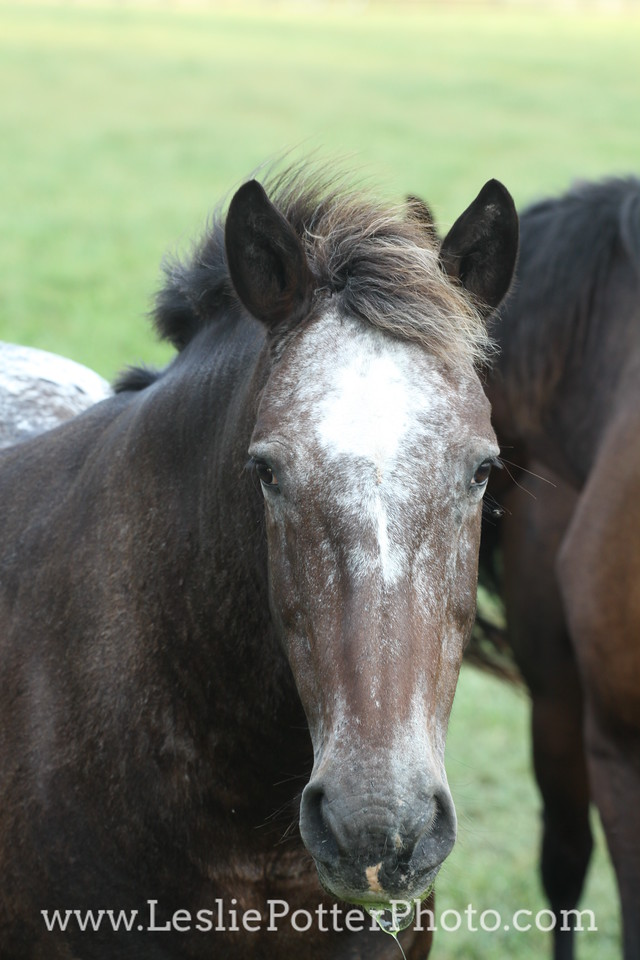 Appaloosa Horse in Pasture
